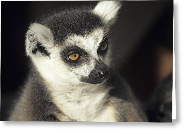 Lemur Catta Greeting Cards - Ring-tailed Lemur Greeting Card by David Aubrey