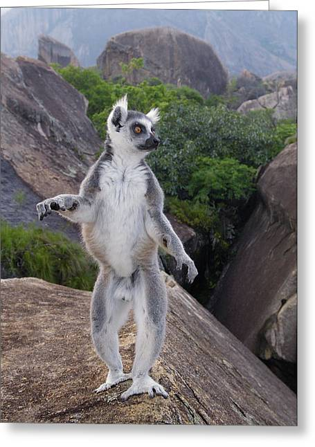 Ring-tailed Lemur Lemur Catta Male Greeting Card by Pete Oxford