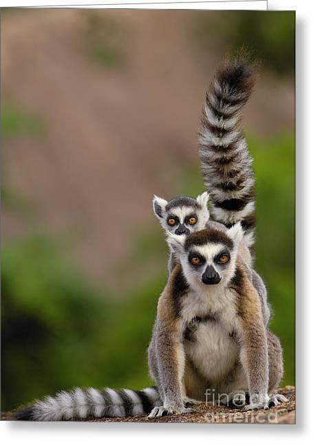 Lemur Catta Greeting Cards - Ring-tailed Lemur Lemur Catta Mother Greeting Card by Pete Oxford