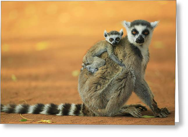 Berenty Private Reserve Greeting Cards - Ring-tailed Lemur Mother and Baby Greeting Card by Cyril Ruoso
