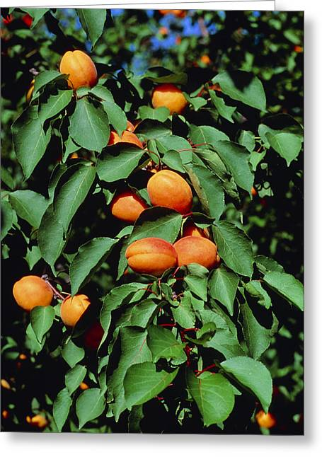 Apricot Tree Greeting Cards - Ripe Apricots Growing On A Branch Greeting Card by Kaj R. Svensson