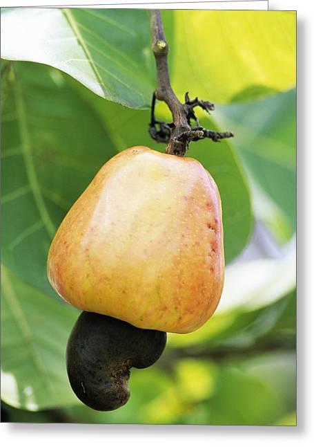 Ripe Cashew Nut Greeting Card by David Nunuk