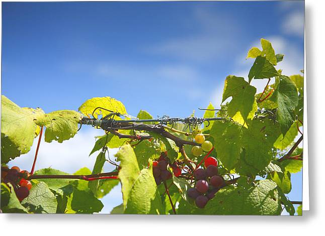 Vineyard Prints Greeting Cards - Ripening On The Vines Greeting Card by Steven Ainsworth