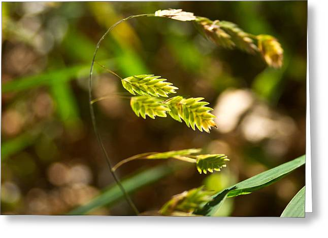 Tennessee River Greeting Cards - River Cane Seed Head Greeting Card by Douglas Barnett