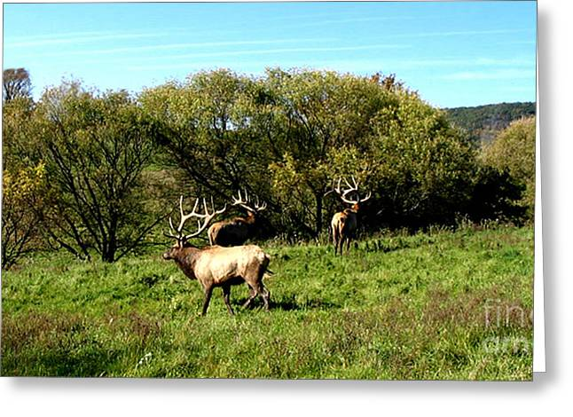 Landscape Framed Prints Pyrography Greeting Cards - Roaming Elk  Greeting Card by The Kepharts