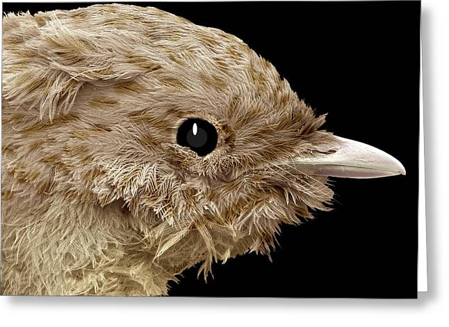 Coloured Plumage Greeting Cards - Robin Chick, Sem Greeting Card by Steve Gschmeissner