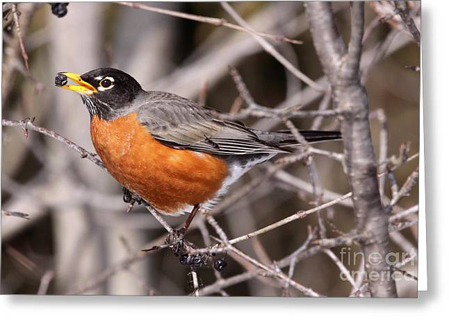 American Robin Greeting Cards - Robin eating Greeting Card by Chris Hill