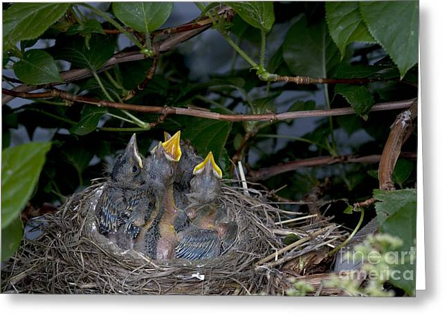 Hungry Chicks Greeting Cards - Robin Nestlings Greeting Card by Ted Kinsman