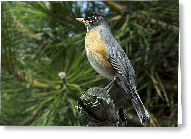 In Focus Greeting Cards - Robin Perched On A Branch, Botanical Greeting Card by Philippe Henry