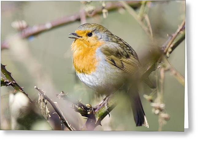Passerines Greeting Cards - Robin Singing On A Branch Greeting Card by Duncan Shaw