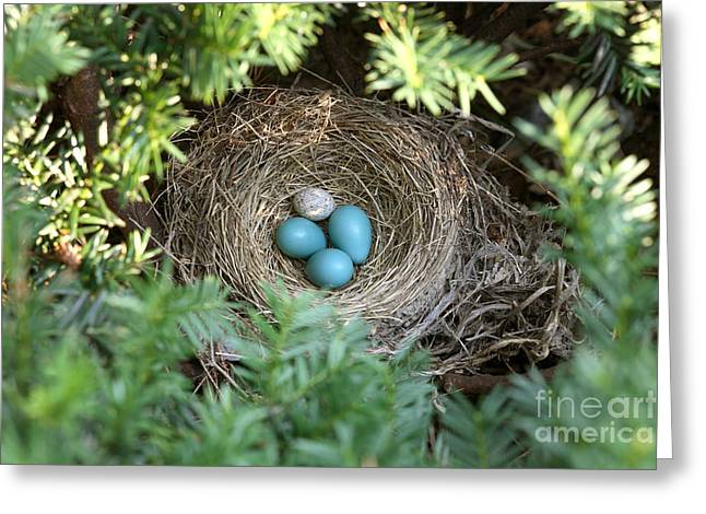 Cowbird Greeting Cards - Robins Nest And Cowbird Egg Greeting Card by Ted Kinsman
