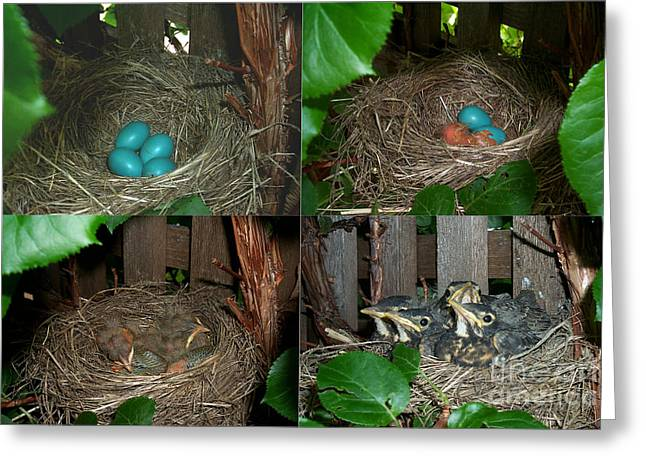 Family Time Greeting Cards - Robins Nest Greeting Card by Ted Kinsman