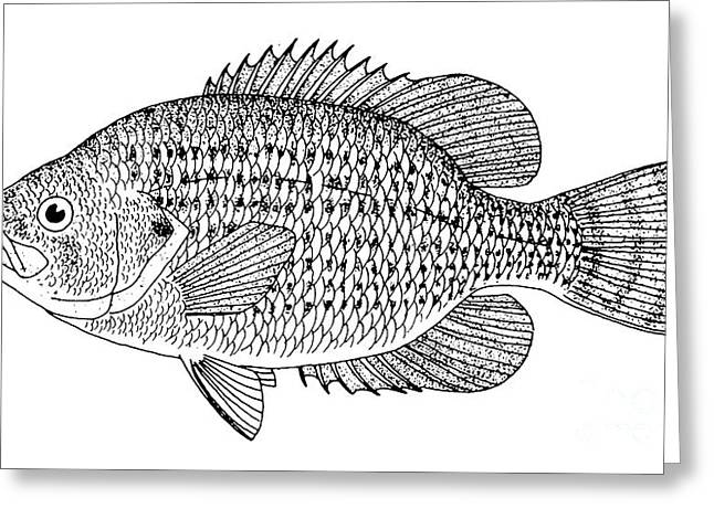Aquatic Greeting Cards - Rock Bass Greeting Card by Granger