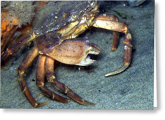 Invertebrates Greeting Cards - Rock Crab Greeting Card by Paul Ward