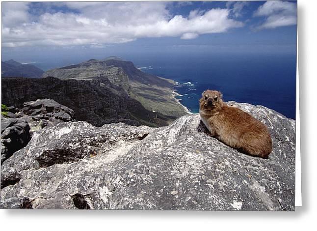 Cape Town Greeting Cards - Rock Hyrax Procavia Capensis Resting Greeting Card by Gerry Ellis