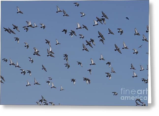 Livia Greeting Cards - Rock Pigeon Flock Greeting Card by Raul Gonzalez Perez