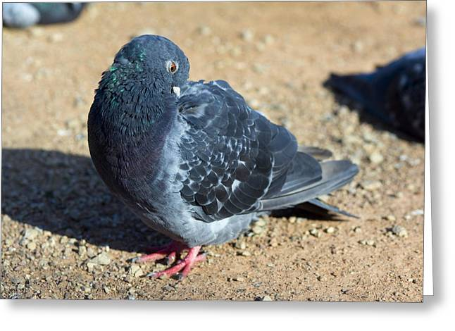 Feral Pigeon Greeting Cards - Rock Pigeon Greeting Card by Georgette Douwma