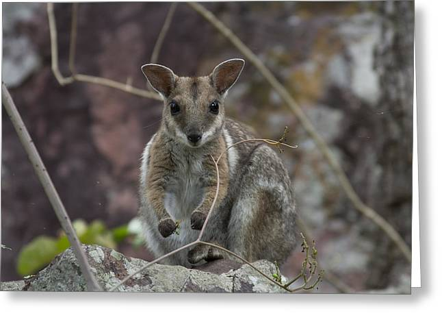 Top-end Greeting Cards - Rock Wallaby V2 Greeting Card by Douglas Barnard