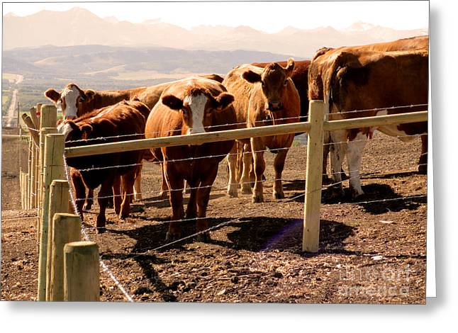 Rocky Mountain Foothills Greeting Cards - Rockies Cattle Country Greeting Card by Al Bourassa