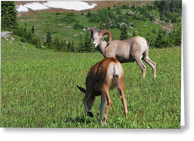 Rocky Mountains Greeting Cards - Rocky mountain bighorn sheep ram and mule deer doe Glacier National Park MT Greeting Card by Christine Till