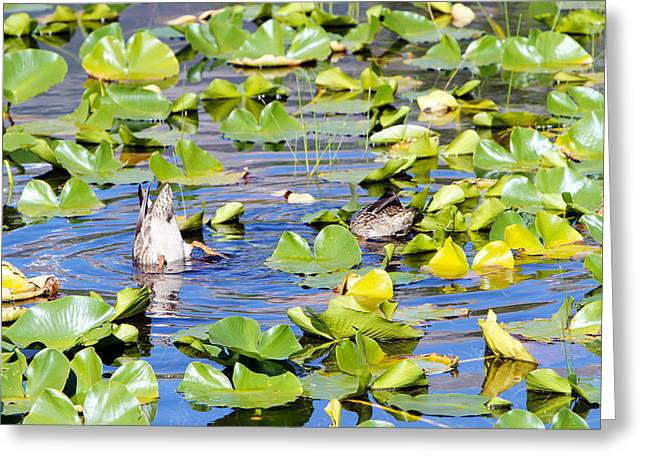 David Yunker Greeting Cards - Rocky Mountain Fishing Duck Greeting Card by David Yunker