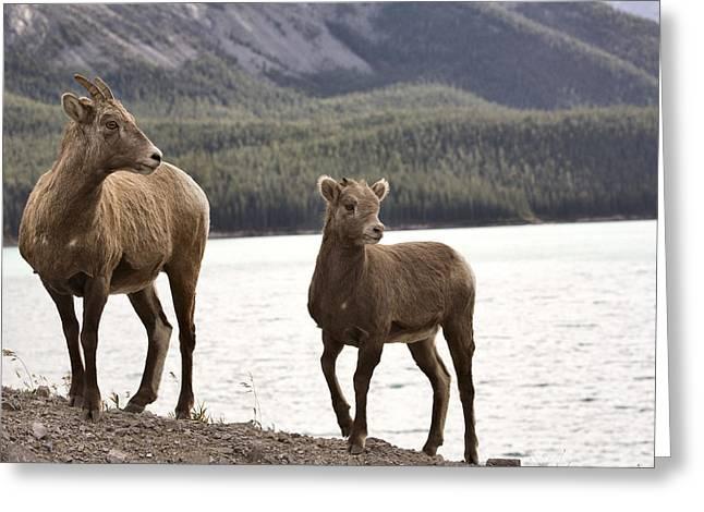 Rocky Mountain Sheep Greeting Cards - Rocky Mountain Sheep Greeting Card by Mark Duffy