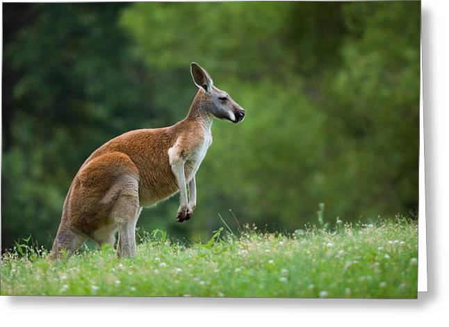 Kangaroo Greeting Cards - Roo Greeting Card by Ryan Heffron