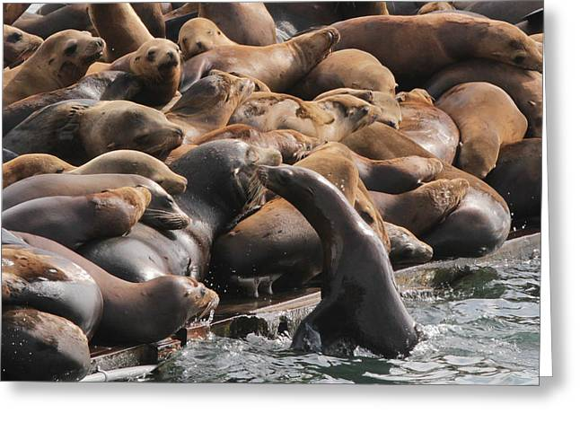 Sea Lions Greeting Cards - Room for One More 2 Greeting Card by Sakari Kouti