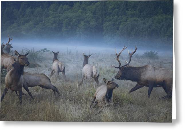 Male Domination Greeting Cards - Roosevelt Elk Scatter Across A Redwoods Greeting Card by Michael Nichols
