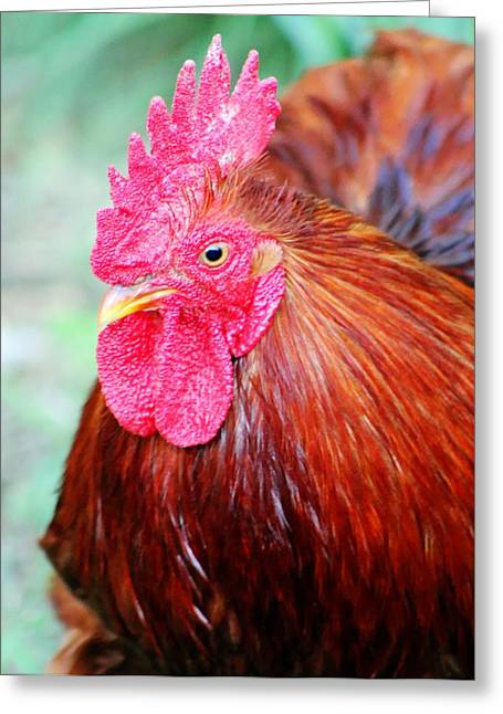 Farmlife Greeting Cards - Rooster Greeting Card by Geary Barr