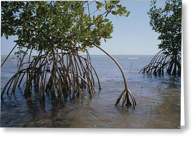 Plant Growth And Decay Greeting Cards - Root Legs Of Red Mangroves Extend Greeting Card by Medford Taylor