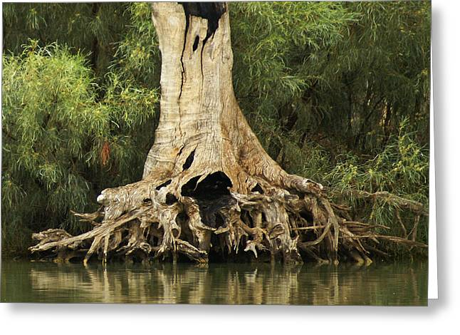 Dead Tree Trunk Greeting Cards - Roots of Wisdom Greeting Card by Holly Kempe