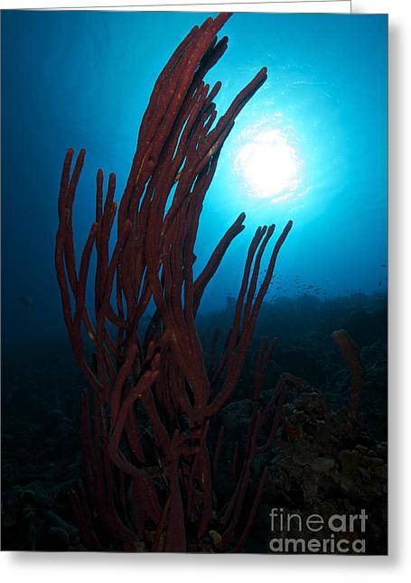Undersea Photography Greeting Cards - Rope Sponge, Bonaire, Caribbean Greeting Card by Terry Moore