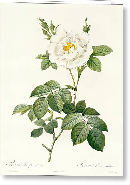 Blooms Greeting Cards - Rosa Alba flore pleno Greeting Card by Pierre Joseph Redoute