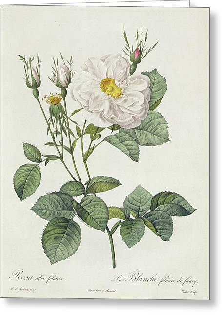 Stalked Greeting Cards - Rosa Alba Foliacea Greeting Card by Pierre Joseph Redoute