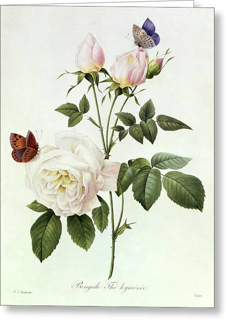 White Rose Greeting Cards - Rosa Bengale the Hymenes Greeting Card by Pierre Joseph Redoute