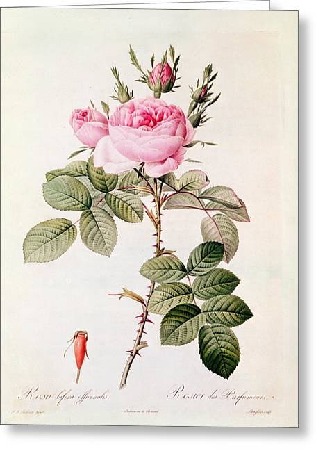 Coloured Greeting Cards - Rosa Bifera Officinalis Greeting Card by Pierre Joseph Redoute