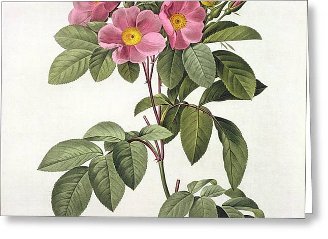 Rosa Carolina Corymbosa Greeting Card by Pierre Joseph Redoute