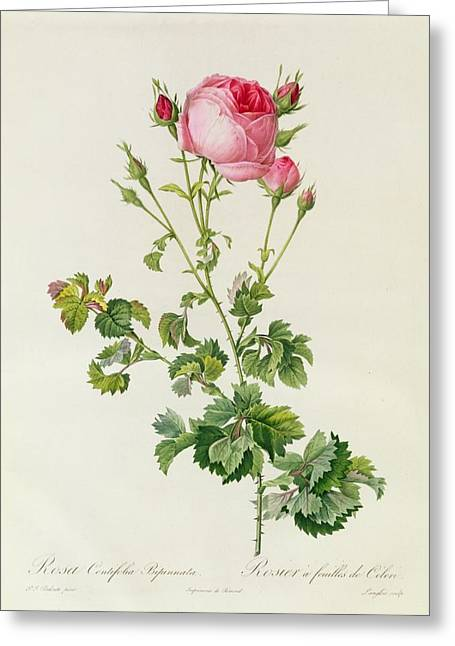 Growth Paintings Greeting Cards - Rosa Centifolia Bipinnata Greeting Card by Pierre Joseph Redoute