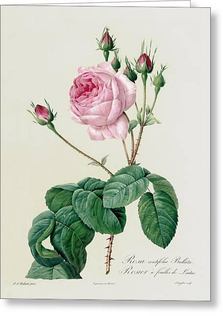 Green Leafs Drawings Greeting Cards - Rosa Centifolia Bullata Greeting Card by Pierre Joseph Redoute