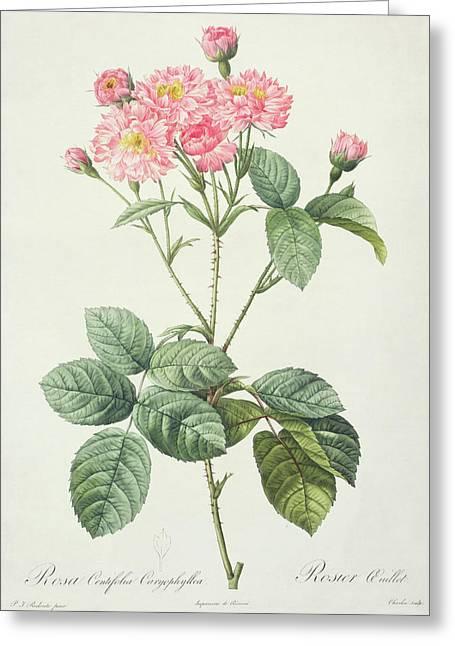 Centifolia Greeting Cards - Rosa Centifolia Caryophyllea Greeting Card by Pierre Joseph Redoute