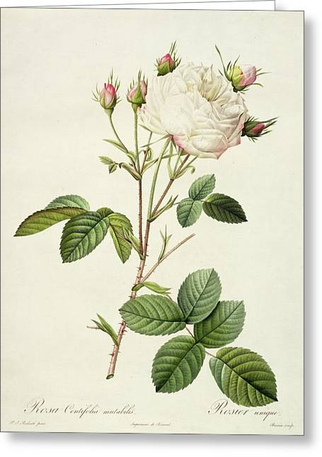 Coloured Flower Greeting Cards - Rosa Centifolia Mutabilis Greeting Card by Pierre Joseph Redoute