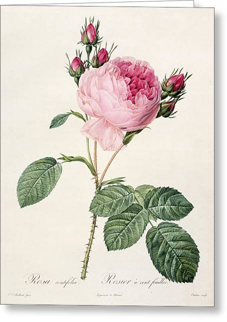 Coloured Flower Greeting Cards - Rosa Centifolia Greeting Card by Pierre Joseph Redoute