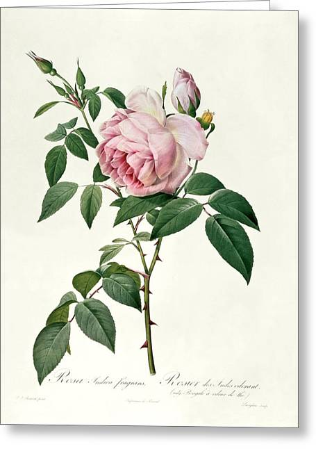 Horticulture Drawings Greeting Cards - Rosa chinensis and Rosa gigantea Greeting Card by Joseph Pierre Redoute