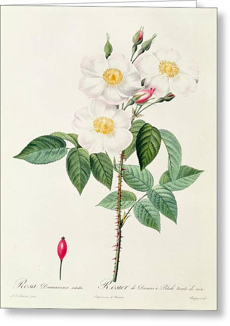 Horticulture Drawings Greeting Cards - Rosa Damascena Subalba Greeting Card by Pierre Joseph Redoute