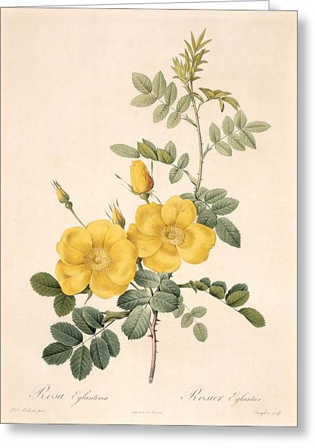 Blossoming Greeting Cards - Rosa Eglanteria Greeting Card by Pierre Joseph Redoute