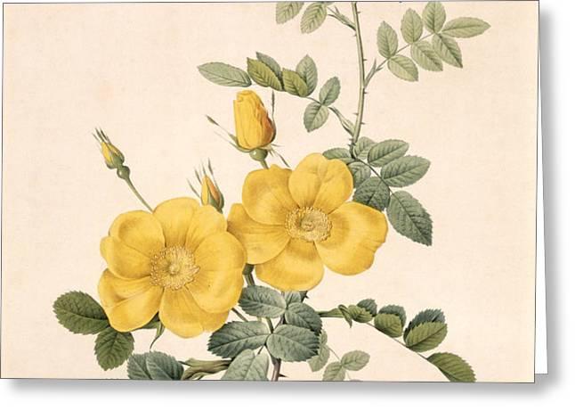Rosa Eglanteria Greeting Card by Pierre Joseph Redoute