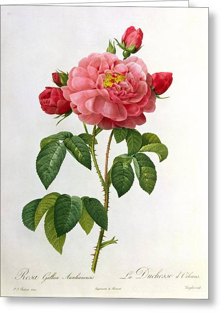 Green Leafs Drawings Greeting Cards - Rosa Gallica Aurelianensis Greeting Card by Pierre Joseph Redoute
