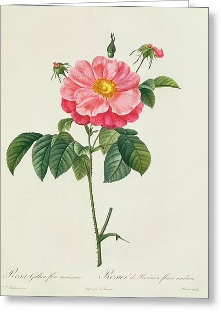 In Bloom Greeting Cards - Rosa Gallica Flore Marmoreo Greeting Card by Pierre Joseph Redoute