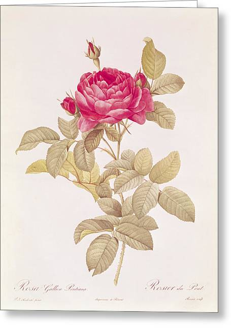 Thorny Greeting Cards - Rosa Gallica Pontiana Greeting Card by Pierre Joseph Redoute